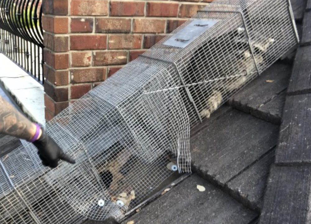 Raccoon caught in Havahart trap just outside hole in roof